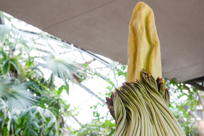 Here Comes Li'l Stinker, The Corpse Flower About To Bloom At The Huntington