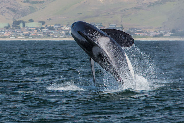 An Orca Whale Breaching In Morro Bay Ca 2017 Photo Via Wikimedia Commons