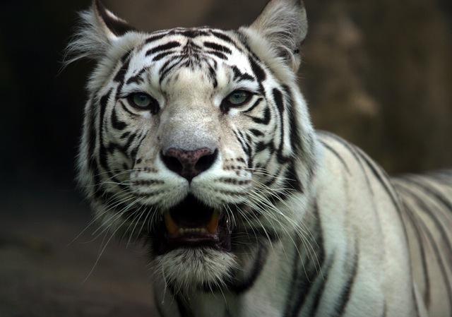 white-siberian-tiger.jpg & Malibu Parents Donu0027t Want Tigers Moving In Next Door: LAist