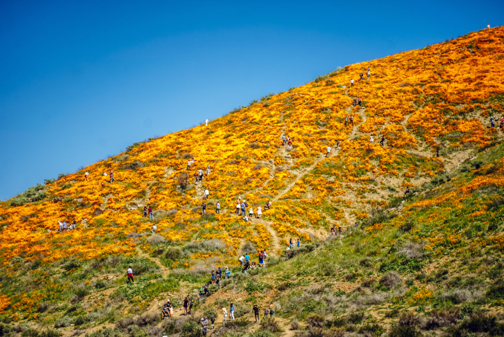 Lake Elsinore Has Been Overrun With Super Bloom Traffic And Shut Down Its Poppy Fields