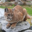 Mountain Lion P-41 Found Dead In Verdugo Mountains