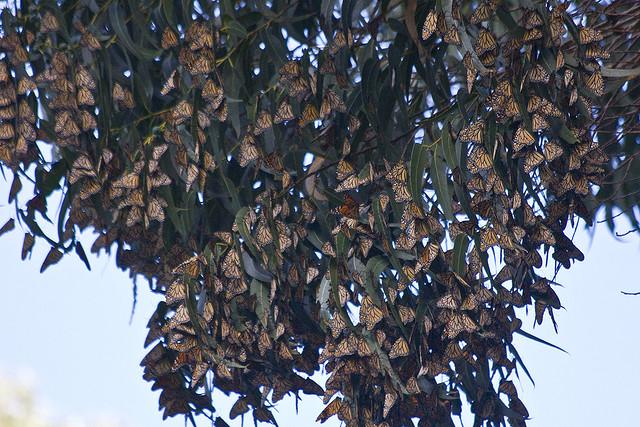 monarchbutterflies.jpg