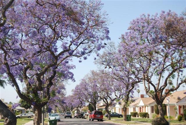 Gibson Leimert Park Trees
