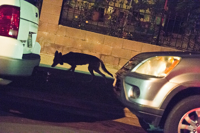 coyote_between_cars_main.jpg