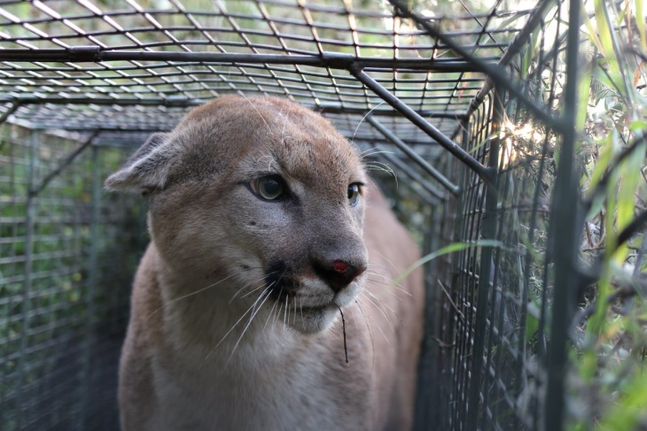 Mountain Lion P-55, Famous For Crossing The 101 Freeway Twice, Has Died