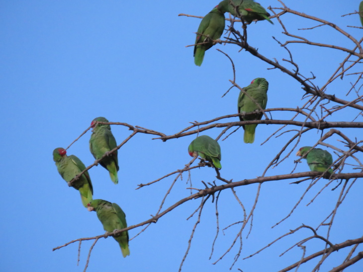 Pasadena's Screaming Parrots Are Super Annoying But May Save Their Species From Extinction