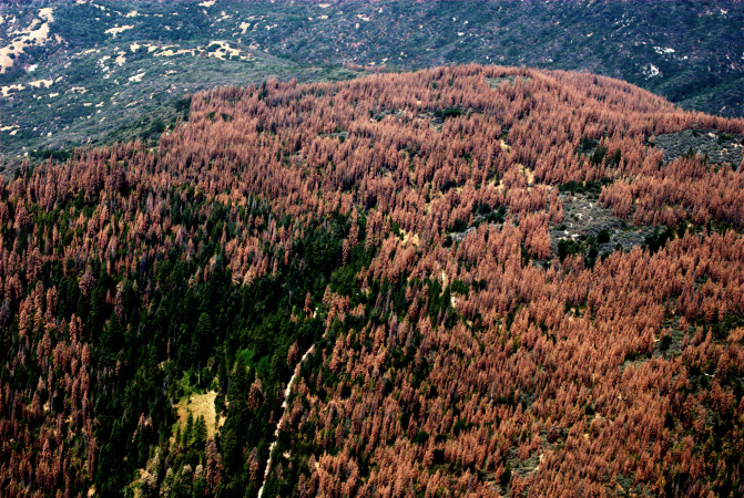 Smog Is Contributing To Pine Tree Deaths -- And That's A Set Up For Huge Fires