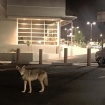 Coyote Spotted In Silver Lake 365 Parking Lot (Albeit Sans Kim Gordon) Because Life Imitates Art