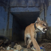 Mountain Lion P-64, Famous For Frequent Freeway Crossings, Found Dead In Woolsey Fire Burn Zone
