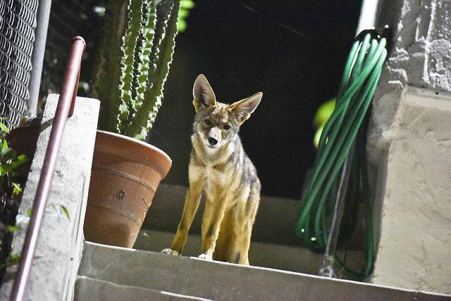 coyote_cute.jpg
