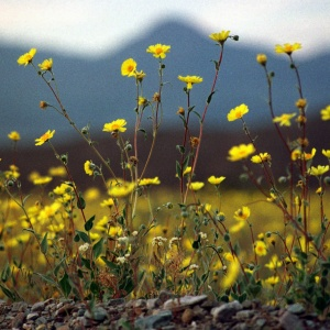 You Belong Among The Wildflowers -- Which Are Coming Any Day Now To The California Desert