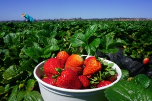 24 Million Pounds Of Strawberries Each Week Might Get Thrown In The Trash