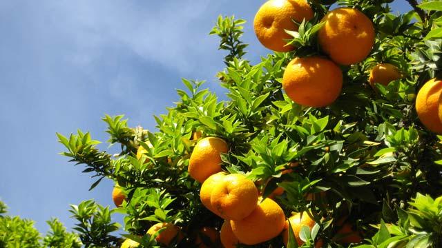 OrangesArboretum.jpg