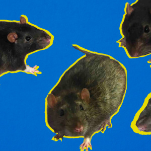 The Story of The Mysterious (Pet) Rat Infestation At An Orange County Homeless Encampment