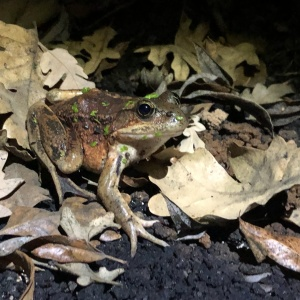 These Already Threatened Frogs Were Nearly 'Annihilated' By Last Year's Fire And Rain