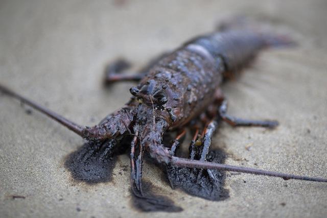 lobster-oil-spill-getty.jpg