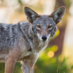 LA Coyotes Eat A Lot Of Our Trash. We Know Because People Checked Their Poop (And Whiskers)