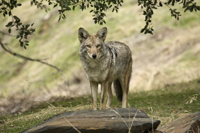 coyote_shutterstock.jpg