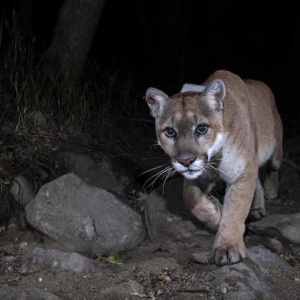 L.A. Celebrates Second Annual P-22 Day To Honor Our Most Famous Mountain Lion