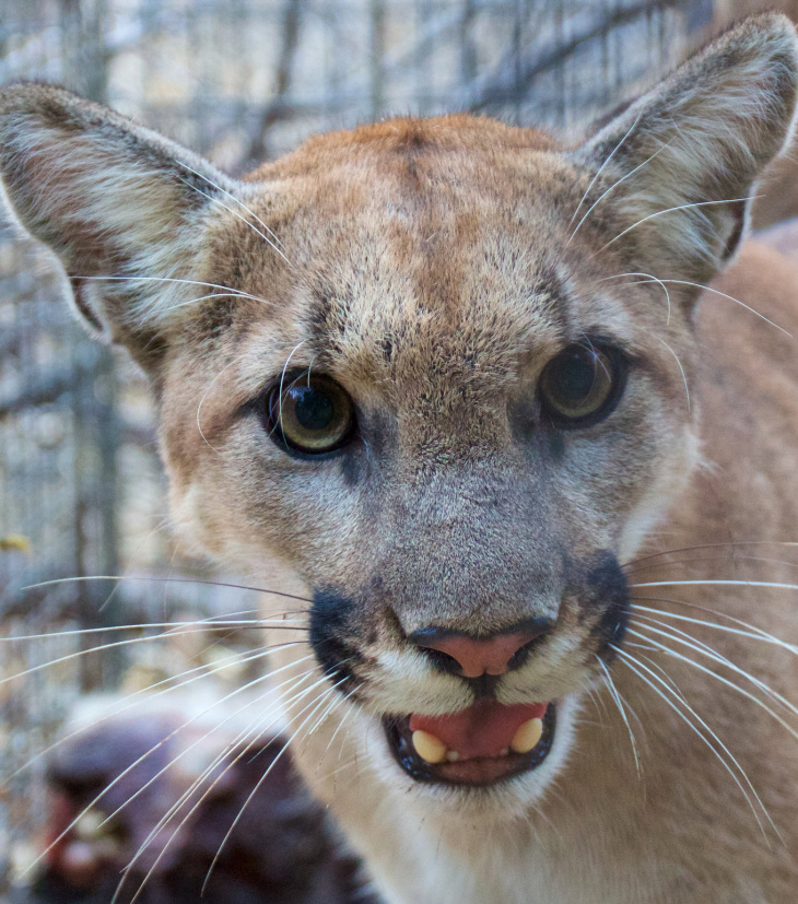P-74 was the newest mountain lion being tracked by NPS biologists as part  of a study of cougars in the Santa Monica Mountains. b8f46311b29
