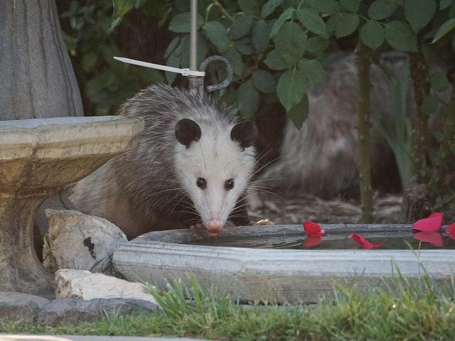 opossum_birdbath.jpg
