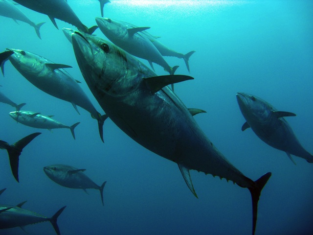 bluefin_tuna.jpg