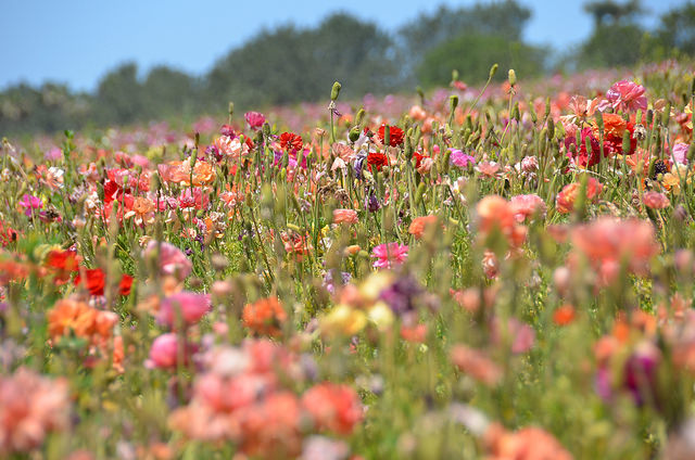flower-fields-carlsbad.jpg
