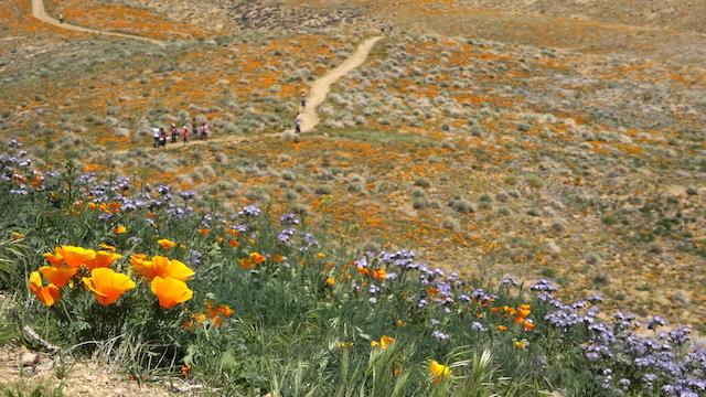 antelope-valley-poppy-field.JPG