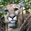 New LA Mountain Lion Alert! Say Hi To P-75