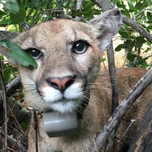 New LA Mountain Lion Alert! Say Hi To P-75
