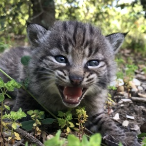 It's Been Quite A Week, So Please Enjoy These Adorable, Angry Bobcat Kittens