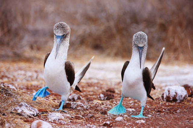 Blue-Footed Boobies Invade SoCal