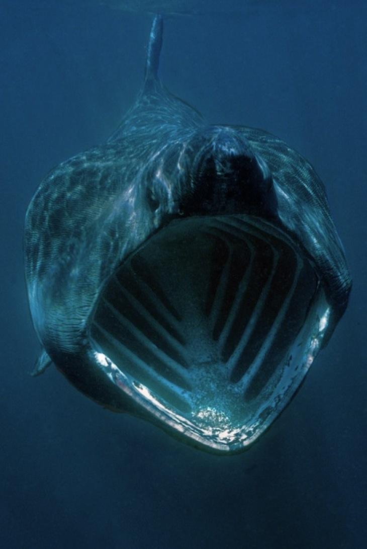 Riesenhai