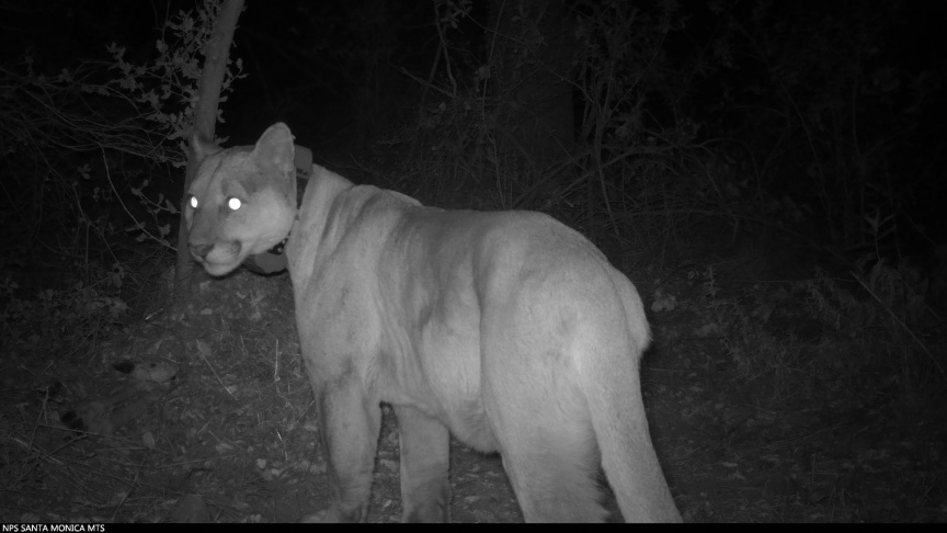 Two More LA Mountain Lions Have Died And Both Had Rat Poison In Their Systems: LAist