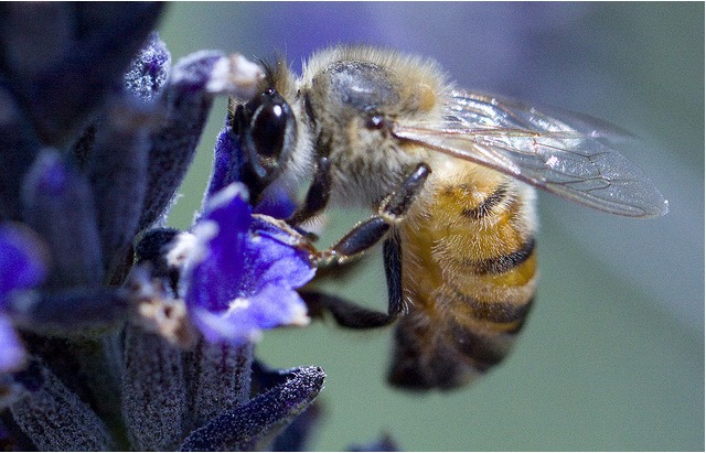 bees-flower.jpg
