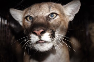 Say Meow To P-77, SoCal's Newest Mountain Lion