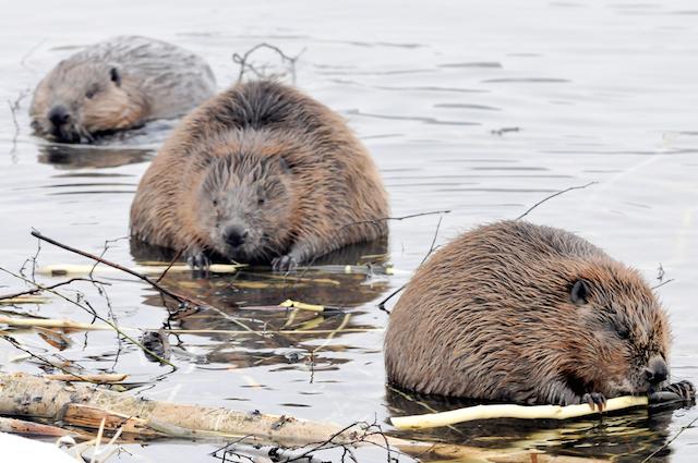 beavers-2.jpg