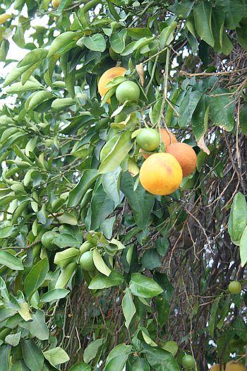 Unplucked fruit