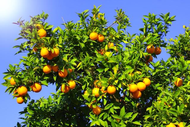 orange-tree-fruit.jpg
