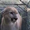 P-55 Becomes First Mountain Lion To Make Two Documented Trips Across 101 Freeway