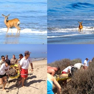 4ba242e37758 Local Residents And Lifeguards Rescued A Deer From A Malibu Beach