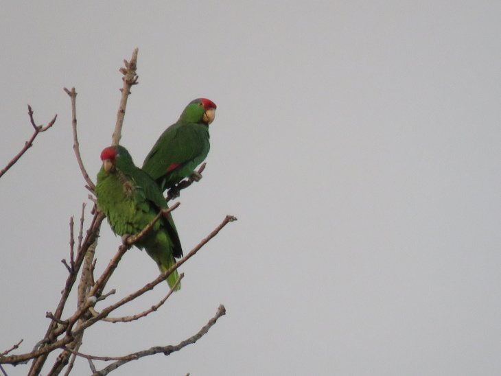 Pasadena's Screaming Parrots Are Super Annoying But May Save