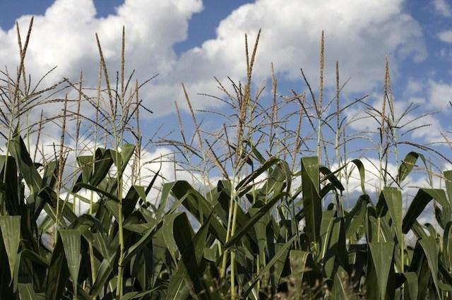 cornfield-shutterstock.jpg