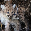 Pair Of Mountain Lion Kittens Die After Being Abandoned By Their Mother, P-42
