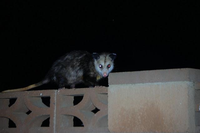 opossum_night.jpg