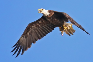 We've Stopped Counting Bald Eagles -- And That's A Good Thing