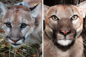 LA Gets Early Christmas Gift In The Form Of 2 New Mountain Lions, P-78 And P-79