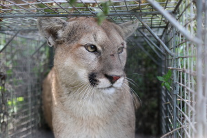 Mountain Lion P-56 Killed After Death Of Livestock