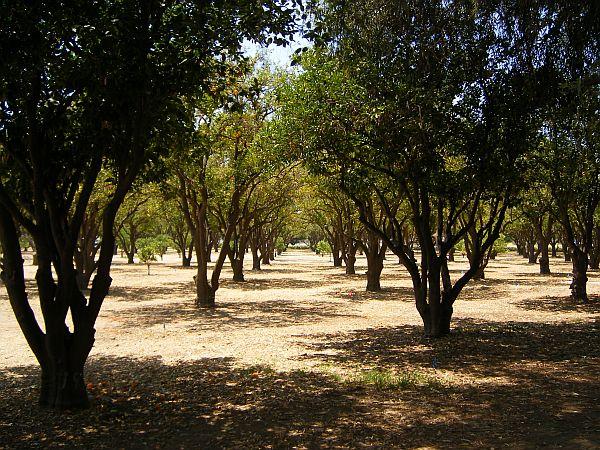 csun orange grove