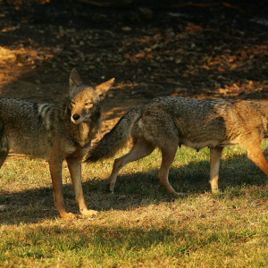 Dear LAist: Does The City Really Hire People To Hunt Coyotes?